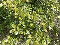 Quercus fusiformis.jpg