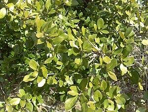 Quercus fusiformis - Image: Quercus fusiformis