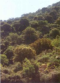 Quercus ilex bosque.jpg