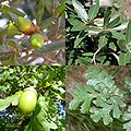Quercus sp mosaic leaves fruits.jpg