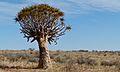 Quiver Tree (Aloe dichotoma) (6437057825).jpg