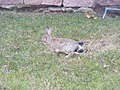 Rabbit in grass.jpg