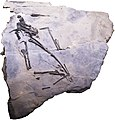Raeticodactylus filisurensis.jpg
