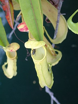 Misool - Aerial traps of the pitcher plant ''Nepenthes'' sp. Misool.