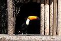 Ramphastos toco -San Diego Zoo, USA-8a.jpg