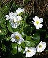 Ranunculus lyallii by Peter de Lange.jpg