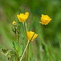 Ranunculus repens in Aveyron (7).jpg