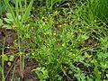 Ranunculus sceleratus Jaskier jadowity 2017-06-16 12.jpg