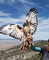 Red-Tailed Hawk Spreading Wings.jpg