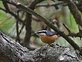 Red-breasted Nuthatch (31333067548).jpg