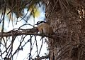 Red-breasted Nuthatch (Sitta canadensis) (32022414215).jpg