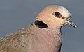Red-eyed Dove Streptopelia semitorquata at Marievale Nature Reserve, Gauteng, South Africa (32558618644).jpg