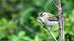 Red-eyed Vireo - Flickr - GregTheBusker (1).jpg