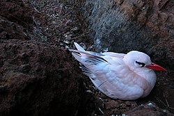 Red-tailed Tropicbird.jpg