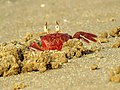Red Ghost Crabs IMG 7468.jpg