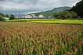 Red Rice Paddy field in Japan 010.jpg