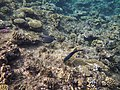Red Sea Corals and Fish.JPG