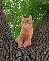 Red cat Felis silvestris catus.jpg
