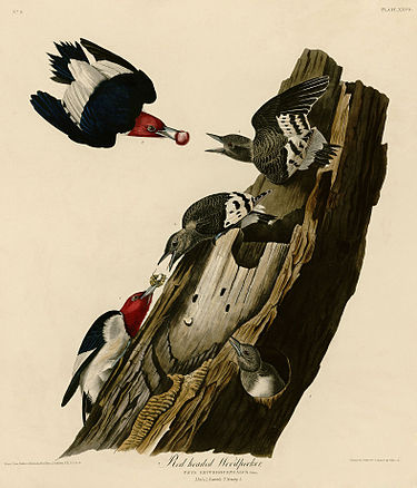 Red headed Woodpecker (Audubon).jpg