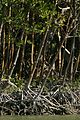 Red mangrove trees rhizophora mangle growing close together.jpg