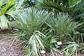 Rhapidophyllum hystrix 20zz.jpg