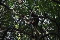 Rhesus macaque (Macaca mulatta) (6748000871).jpg