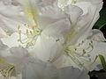 Rhododendron 04.JPG