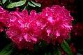 Rhododendron August van Geert (8170862271).jpg