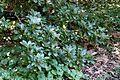 Rhododendron moupinense - VanDusen Botanical Garden - Vancouver, BC - DSC07192.jpg
