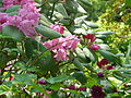 Rhododendron orbiculare & Rubus spectabilis double (5640175362).jpg