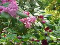 Rhododendron orbiculare & Rubus spectabilis double (5640175362).jpg