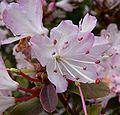 Rhododendron racemosum 2.jpg