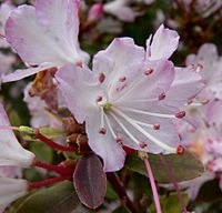 Rhododendron racemosum 2