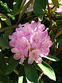 Rhododendron sp. 05.JPG