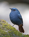 Rhyacornis fuliginosus - Doi Inthanon.jpg