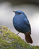Male Plumbeous Water Redstart