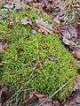 Rhytidiadelphus squarrosus 108880521.jpg