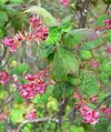 Ribes malvaceum var veridifolium 1.jpg