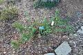 Ribes viburnifolium - San Luis Obispo Botanical Garden - DSC06114.JPG