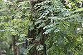 Robinia pseudoacacia, Hangzhou Botanical Garden 2018.06.03 16-07-54.jpg