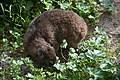 Rock hyrax at Boulders Penguin Colony 02.jpg