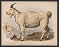 Rocky Mountain goat. Aplocerus montanus LCCN2017660739.jpg