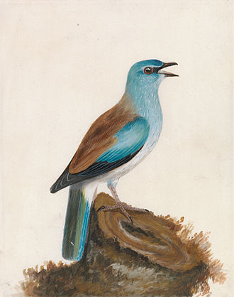 William Lewin - Roller: Garrulous Roller by William Lewin, before 1790. Yale Center for British Art