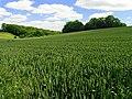 Rolling fields of Wheat - geograph.org.uk - 18546.jpg