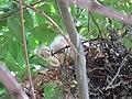 Rookery - 7 17 19 - Snowy Egret chicks (48319585287).jpg