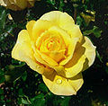 Rosa Gold Glow 2 with interference fixed.jpg