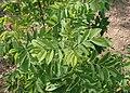 Rosa acicularis var. nipponensis kz04.jpg