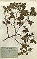 Rosa coriifolia herbaeium (01).jpg