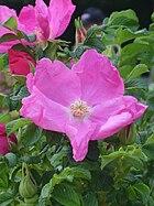 Rosa rugosa 02.JPG