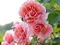 Rose, バラ, (15845987775).jpg